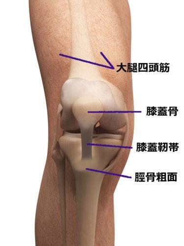 knee anatomical chart